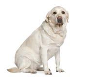 5拉布拉多老猎犬坐的年 免版税库存图片