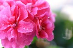 5朵花粉红色 免版税库存图片