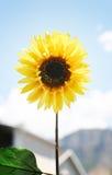 5朵花黄色 库存照片
