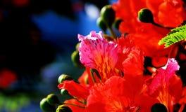 5朵花poinciana 库存照片
