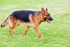5条狗德国牧羊犬 免版税库存图片