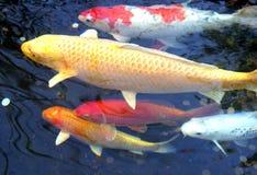 5条koi鱼 免版税库存照片