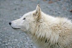 5极性狼 免版税图库摄影