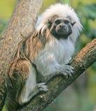 5棉花绢毛猴顶层 库存照片