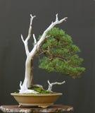 5棵盆景结构树 库存图片