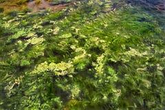 5海藻 免版税库存照片
