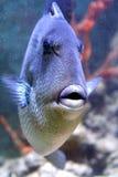 5灰色引金鱼 免版税库存照片