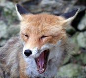 5狐狸 免版税图库摄影