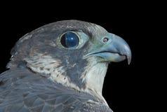5猎鹰 库存照片