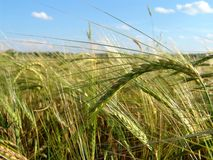 5粒大麦域 库存图片