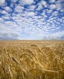 5粒大麦域 库存照片