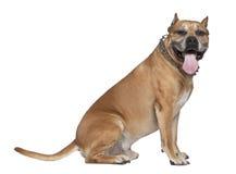5美国老斯塔福郡狗年 免版税库存照片