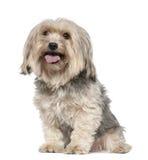 5老坐的狗年约克夏 库存照片