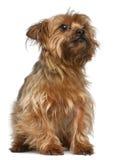 5老坐的狗年约克夏 免版税图库摄影
