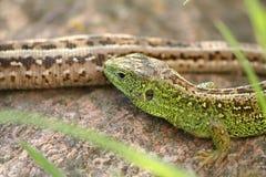 5蜥蜴 库存图片