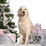 5金黄老猎犬坐的年 免版税库存照片