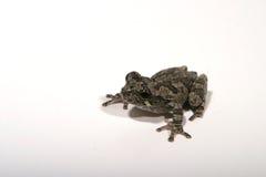 5青蛙 库存照片