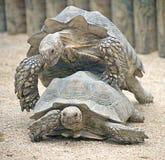 5非洲被激励的草龟 免版税库存图片