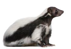 5 år för gammal skunk för mephitis randiga Royaltyfria Bilder
