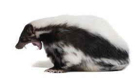 5 år för gammal skunk för mephitis randiga Arkivbilder
