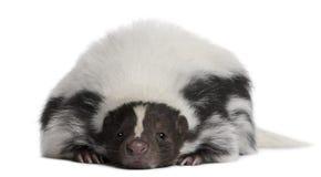 5 år för gammal skunk för mephitis randiga Royaltyfri Fotografi