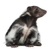 5 år för gammal skunk för mephitis randiga Arkivfoton