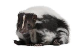 5 år för gammal skunk för mephitis randiga Arkivbild