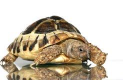 5 żółwia Zdjęcie Royalty Free