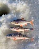 5 αλιεύοντας πέρκα Στοκ Φωτογραφίες