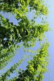 5 η φυτεία φύλλων λυκίσκων Στοκ Φωτογραφία