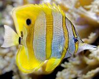 5 ψάρια πεταλούδων copperband Στοκ Εικόνα