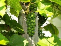 5 виноградин незрелых Стоковая Фотография