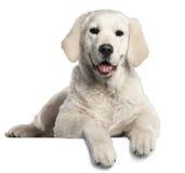 5 золотистых старого месяцев retriever щенка Стоковая Фотография