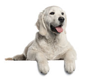 5 золотистых старого месяцев retriever щенка Стоковое Изображение