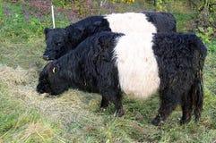 5 корова galloway Стоковая Фотография