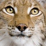 5 лет близкого евроазиатского lynx старых поднимающих вверх Стоковые Фотографии RF