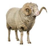 5 лет овец штосселя merino arles старых стоковая фотография