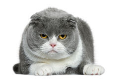 5 лет створки кота лежа старых шотландских Стоковая Фотография