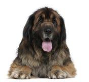5 лет leonberger собаки старых Стоковое Изображение