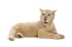 5 месяцев льва новичка белых Стоковое фото RF
