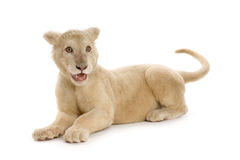 5 месяцев льва новичка белых Стоковые Фото