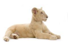 5 месяцев льва новичка белых Стоковое Изображение RF