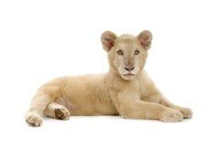 5 месяцев льва новичка белых Стоковая Фотография RF