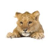 5 месяцев льва новичка Стоковое фото RF