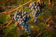 5 пуков красного цвета виноградины Стоковые Изображения