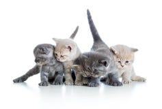 5 смешных шотландских котят на белизне Стоковая Фотография