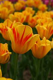 5 тюльпанов стоковые изображения rf