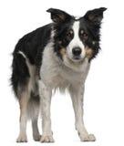 5博德牧羊犬半老常设年 库存照片