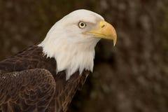 白头鹰题头击出(5) 免版税库存图片
