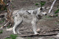 5狼 库存图片
